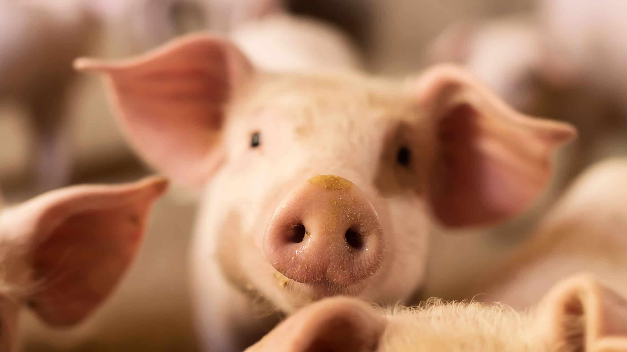 Alternatives to antibiotics in animal health: The example of colistin